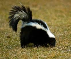 Image result for skunk under house pictures