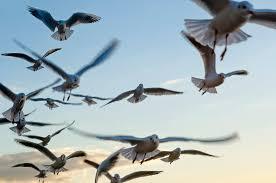 san carlos sonora wingwestbirding com alamosbanner seagulls mountain lake