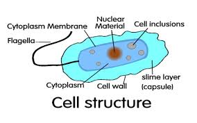 collection bacterial cell structure diagram pictures   diagramsimages of bacterial cell structure diagram diagrams