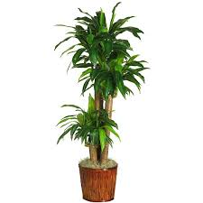 dracaena 6584 0508 lg_mini best office plant no sunlight