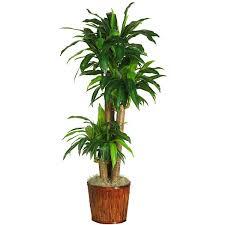 dracaena 6584 0508 lg_mini best office plants no sunlight