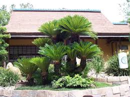 Cycas revoluta appears regularly in <b>classical</b> Japanese gardens. In ...