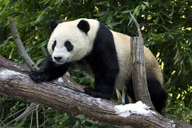 Why <b>Pandas Love</b> Some Trees More Than Others | Biology | Sci ...