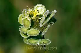 Buckler Mustard - Flowers in Israel