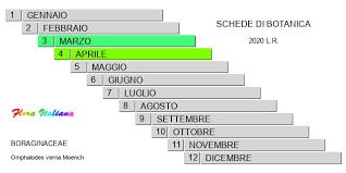 Omphalodes verna [Occhi della Madonna primaverili] - Flora Italiana