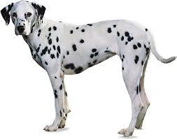 <b>Dalmatian</b>   breed of <b>dog</b>   Britannica