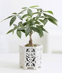 like the sound of it already youll like it even more when you see how easy money trees are to maintain these trees do best in full and partial sunlight best office plant no sunlight