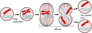 cell division  mitosis and meiosis   biology biological    file major events in mitosis svg
