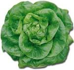 Images & Illustrations of butterhead lettuce