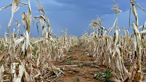 drought predictions for southern africa special reports m g dry dry maize field in ventersdorp grain sa says this is the worst