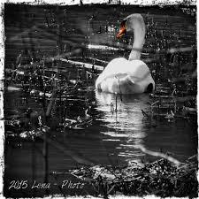 swan on the river by lena kristina sandum meek photo  swan on the river by lena kristina sandum meek photo 106348793 500px