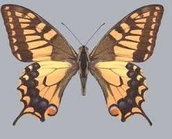 <b>Махаон</b> — Papilio <b>machaon</b> | Красная <b>книга</b> Чувашской Республики
