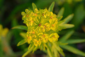 Euphorbia esula - Wikipedia