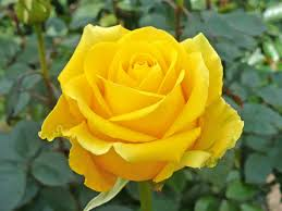 Image result for images of yellow roses