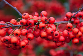 Image result for red berries