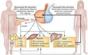 Resultado de imagem para Effect of growth hormone on body tissues