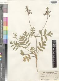 Turgenia latifolia (L.) Hoffm. | Plants of the World Online | Kew Science