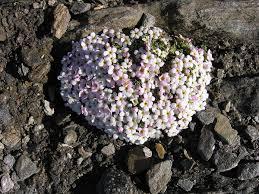Androsace alpina - Wikipedia