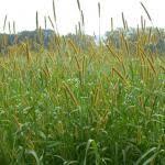 Setaria glauca | UMass Amherst Landscape, Nursery & Urban ...