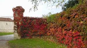 Image result for Virginia Creeper