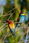 Images & Illustrations of bee eater