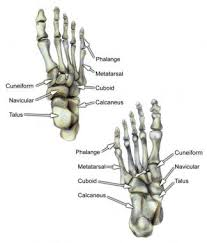 foot bone anatomy  overview  tarsal bones   gross anatomy    bones of the foot  dorsal and ventral views