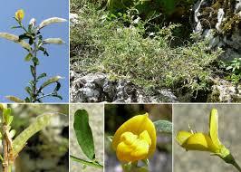 Genista pilosa L. - Sistema informativo sulla flora vascolare del ...
