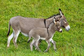 Image result for what is a donkey foal