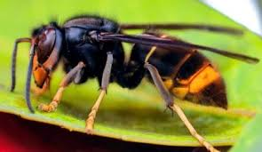 Image result for asian hornet beekeeping uk