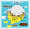 retinulae