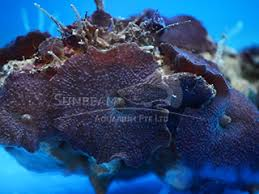 Marine Coral <b>Mushroom</b>   Sunbeam Aquarium Singapore