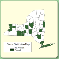 Delphinium - Genus Page - NYFA: New York Flora Atlas - NYFA ...