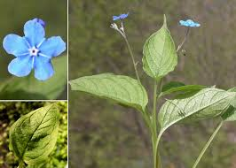 Omphalodes verna Moench - Portale sulla flora del Parco Naturale ...
