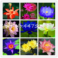 10 Pcs <b>High Quality 100</b>% <b>Original</b> Mixed Bowl Lotus Bonsai Flower ...