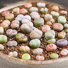 <b>100 Pcs Fashion</b> Mini Succulent Seeds Lithops Living Stones Plants ...