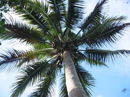 essay on coconut tree