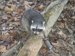 Image result for trapping coons with dog proof traps