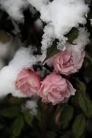Very <b>beautiful</b> | Winter | <b>Cherry blossom</b>, Winter, <b>Snow</b>