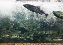 Are hatchery releases affecting <b>Alaska's wild salmon</b>? - Anchorage ...