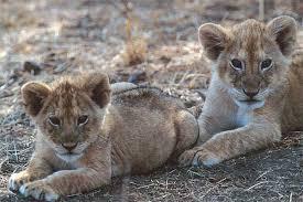 The Pride, A realistic Lion Rp  Images?q=tbn:ANd9GcRZemyh0Vo5I8MsZxXruS1RaHIgaHUrM1w4VOK_nhzr6GQaaLHotA