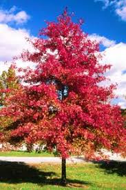 Image result for pin oak tree