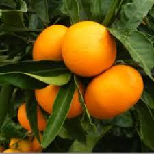 DWARF Mandarin oranges