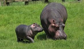 Image result for hippo in garden