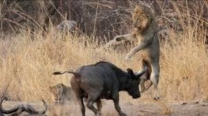 Αποτέλεσμα εικόνας για Επική μάχη μέχρι θανάτου μεταξύ Βούβαλου και Λιοντάρι