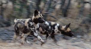 african wild dog an essay on an endangered species bundu mafasi copyroel van muiden wild dog pups part of the successfully relocated population in madikwe