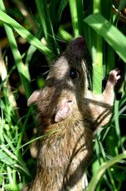 hama tikus menyerang padi