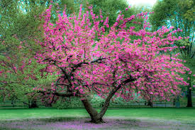 Image result for black cherry tree