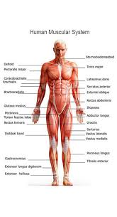 muscular system jpgthe human muscular system