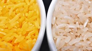 in a grain of golden rice a world of controversy over gmo foods in a grain of golden rice a world of controversy over gmo foods the salt npr
