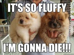 It's so fluffy I'm gonna die!!! - Misc - quickmeme via Relatably.com